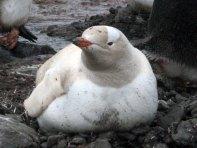 Leucistic gentoo penguin - Photo credit: Catie Foley