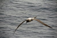 Light-mantled sooty albatross - Photo credit: Catie Foley
