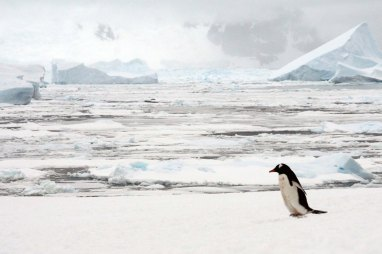 Lone gentoo penguin - Photo credit: Catie Foley