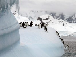 Gentoo penguins returning from a swim - Photo credit: Catie Foley