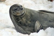 Weddell seal - Photo credit: Catie Foley