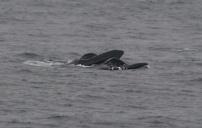 Whale feeding - Photo credit: Catie Foley