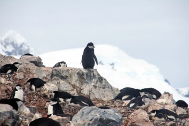 Chinstrap penguins - Photo Credit: Catie Foley