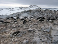 Penguins nesting - Photo Credit: Catie Foley