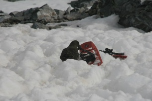 Skua munching on the snowshoes - Photo Credit: Catie Foley