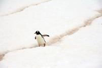 Gentoo penguin making its way down the path - Photo Credit: Catie Foley